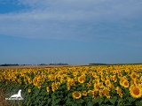 Tyulenovo_sunflowers